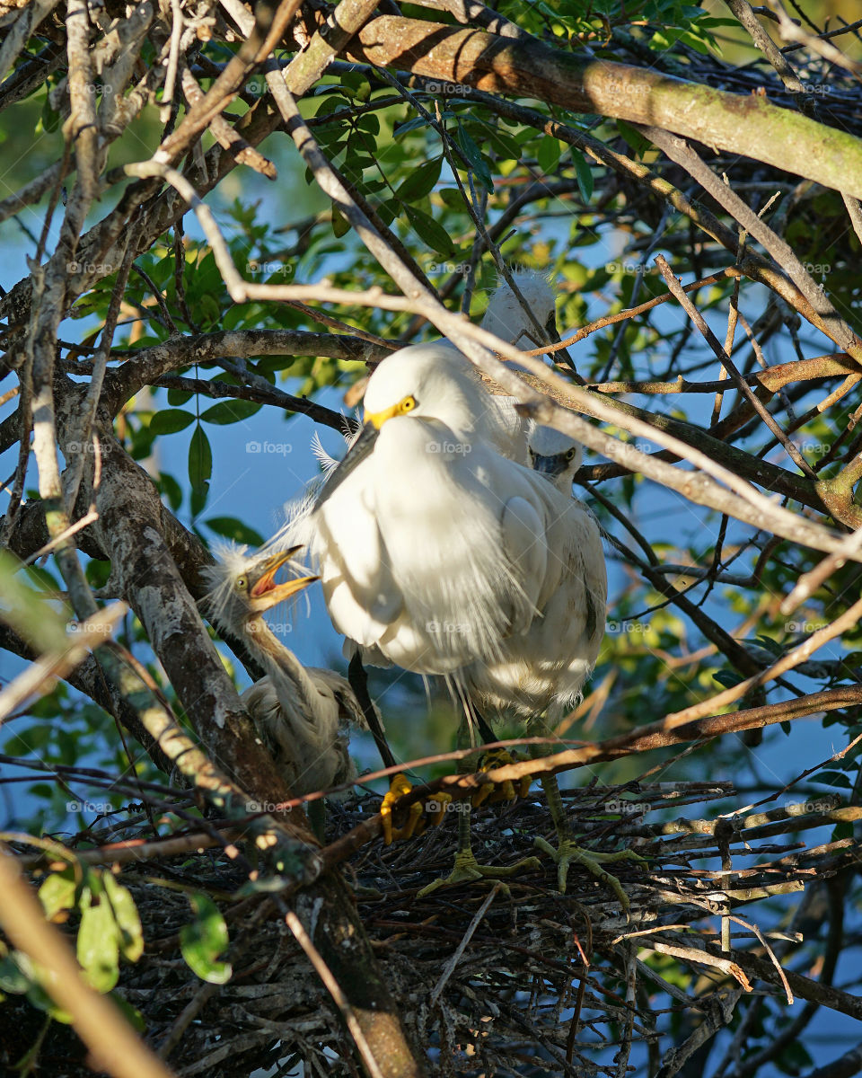 Hungry baby Snowy Egret