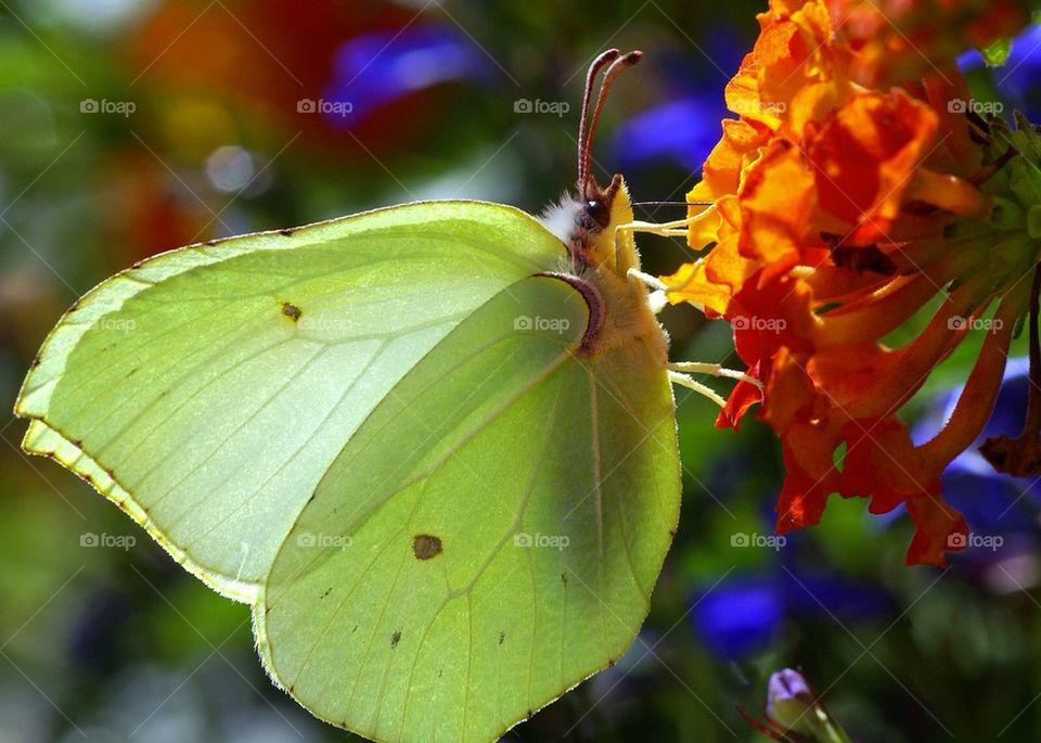 Butterfly by Cekari