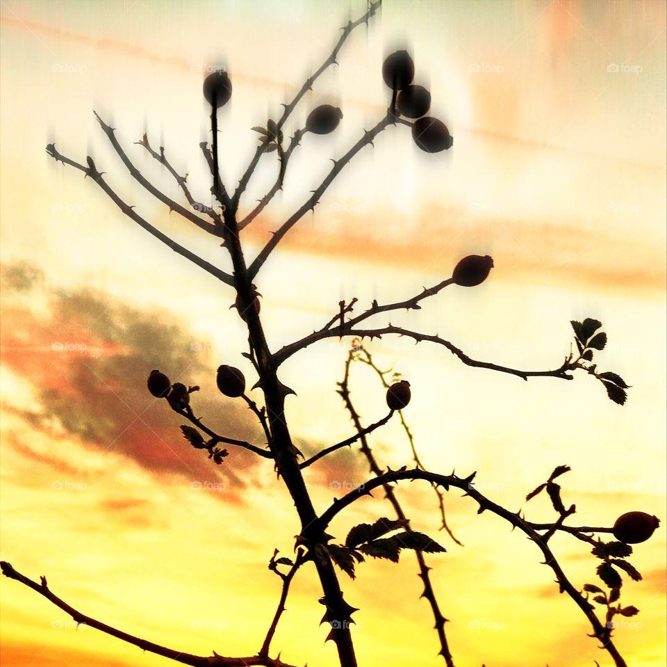 Autumnal rose hips