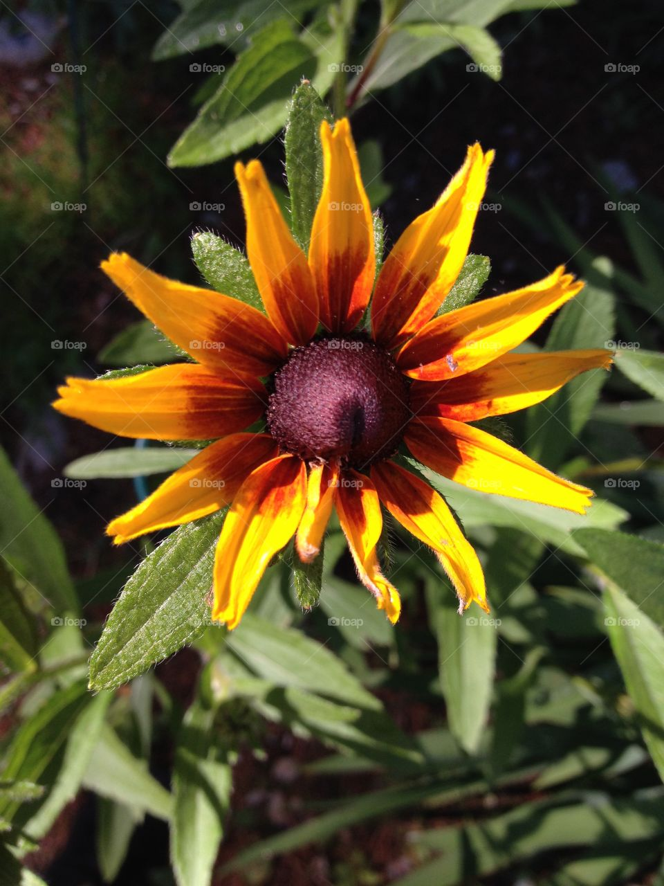 Black Eyed Susan Perennial Flower