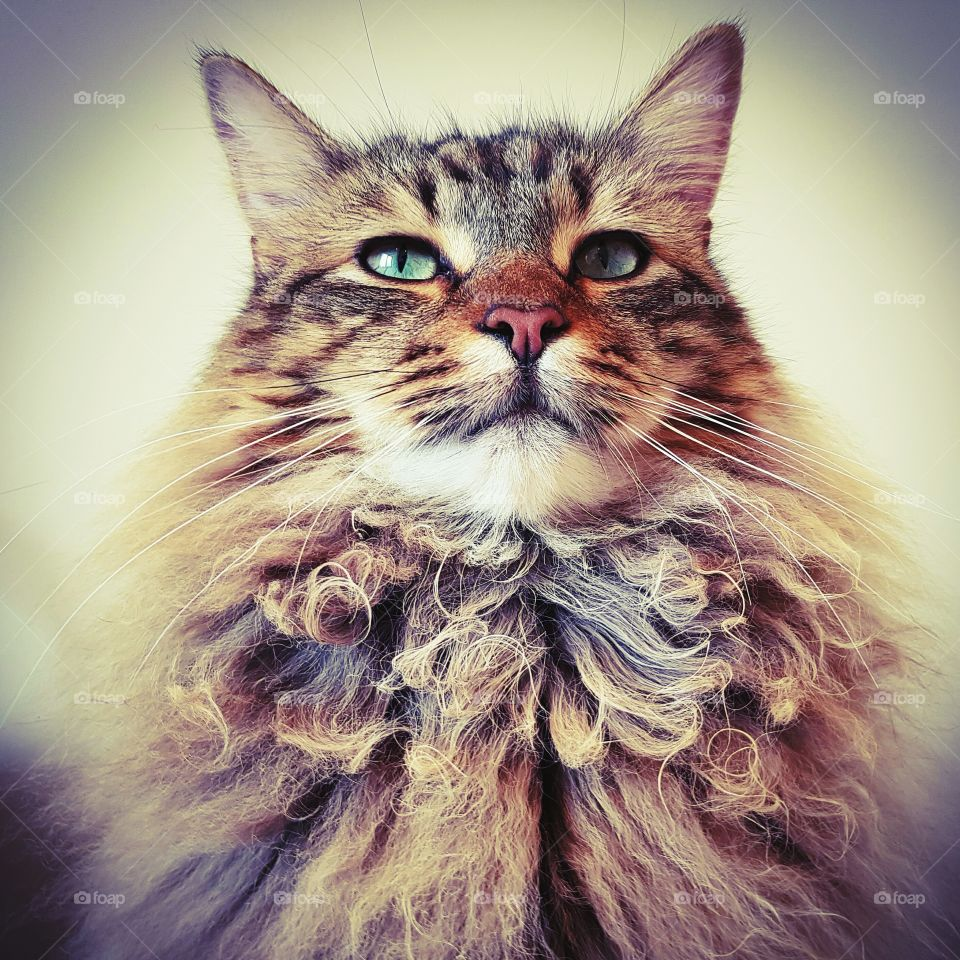 handsome male maine coon lynx cat portrait.