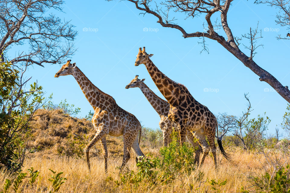 Rule of odds and symmetrical lines and shapes is the main focus of this image. Photo of 3 giraffes walking in the bush, Kruger National Park South Africa