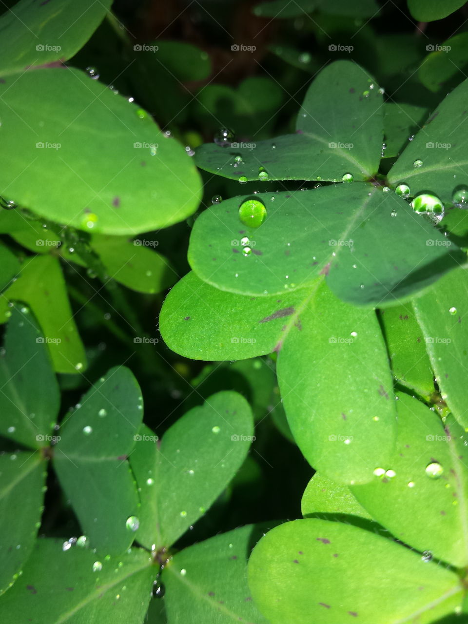 Close up photo of green leaf clovers in the evening. On the leaves there are small drops of rain