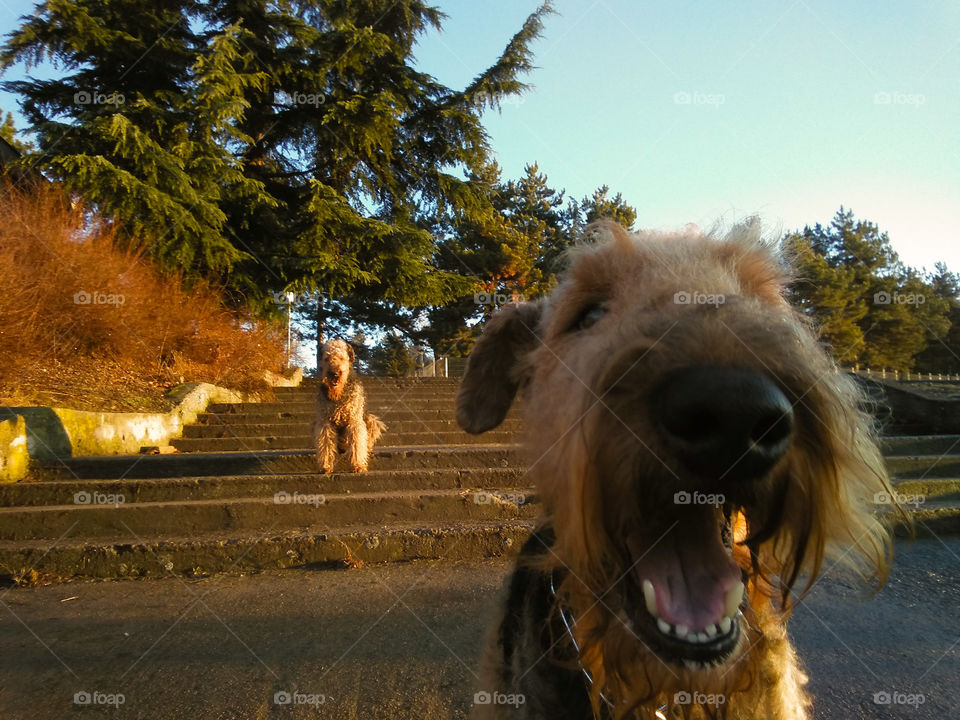 Airedales in the morning
