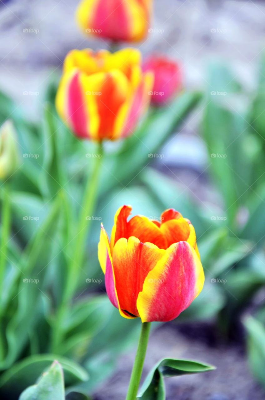 flower leaf tulip tulips by seasky