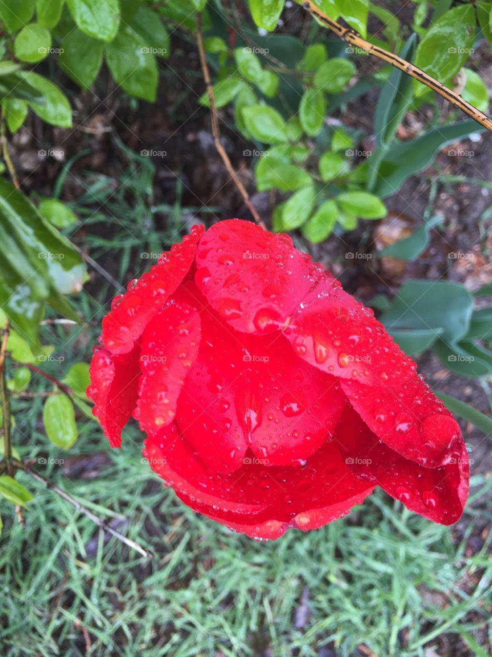 Red Tulip in a rain storm