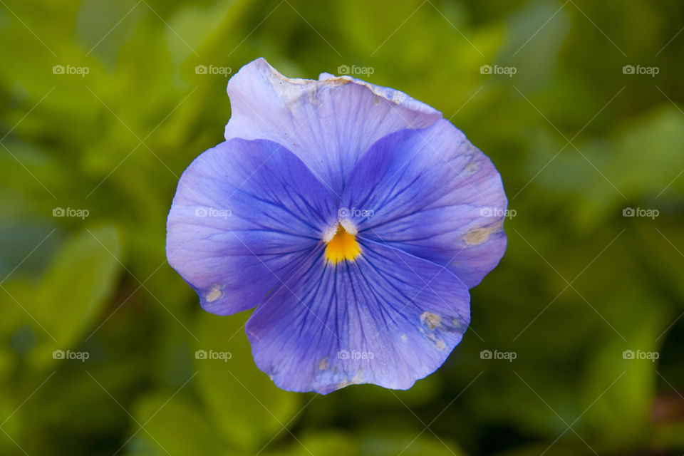 THE BLUE FLOWER IN NAPPA VALLEY CALIFORNIA USA