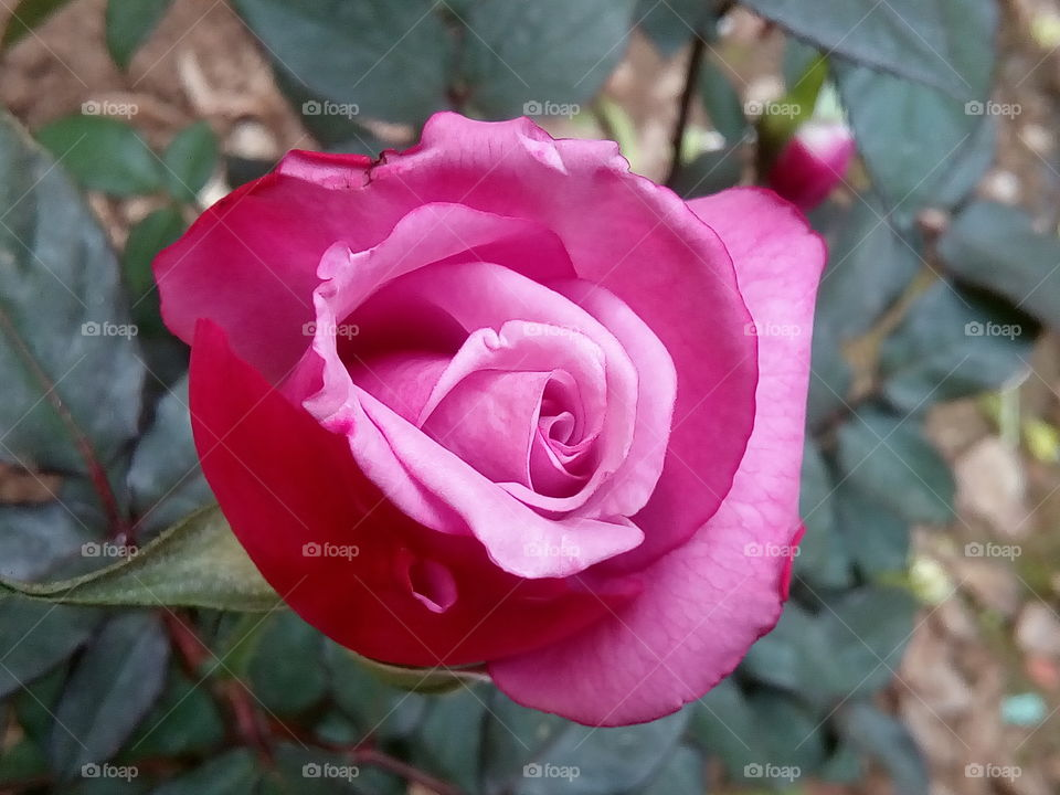 rose 2017-12-21 01  #আমার_চোখে #আমার_গ্রাম #nature #eukaryota #plantae #angiosperms #eudicots #rosids #rosa