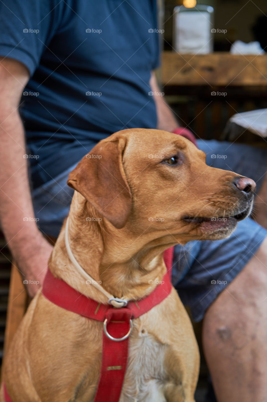 Labrador retriever with his owner in a street Cafe