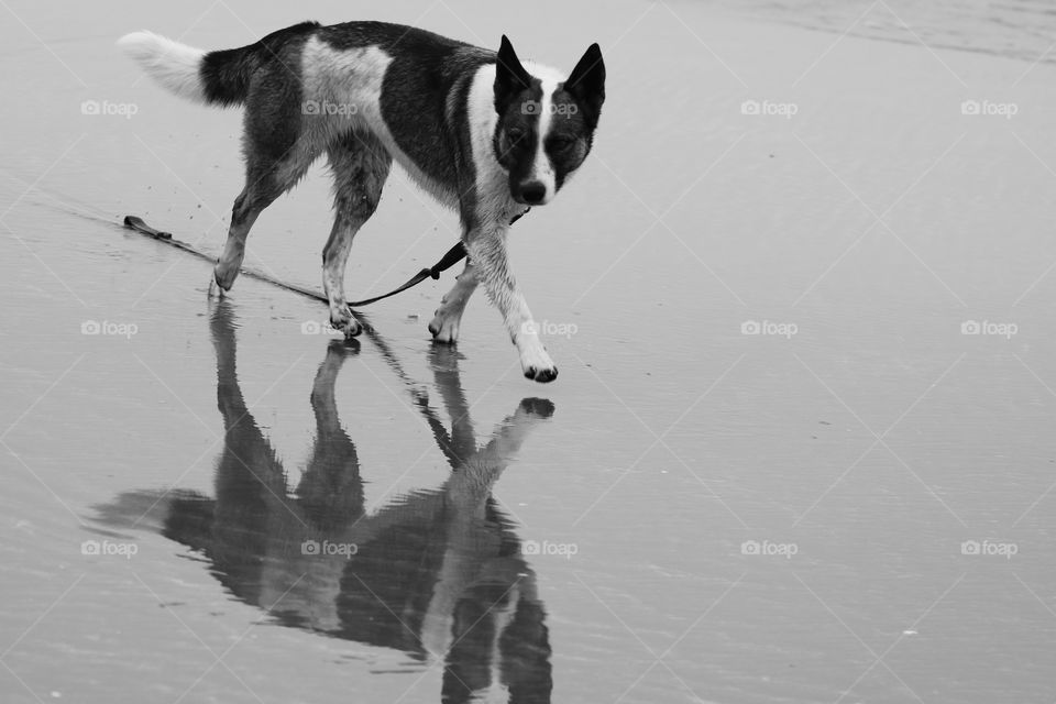 Dog walking in a shallow water its silhouette looking back at him