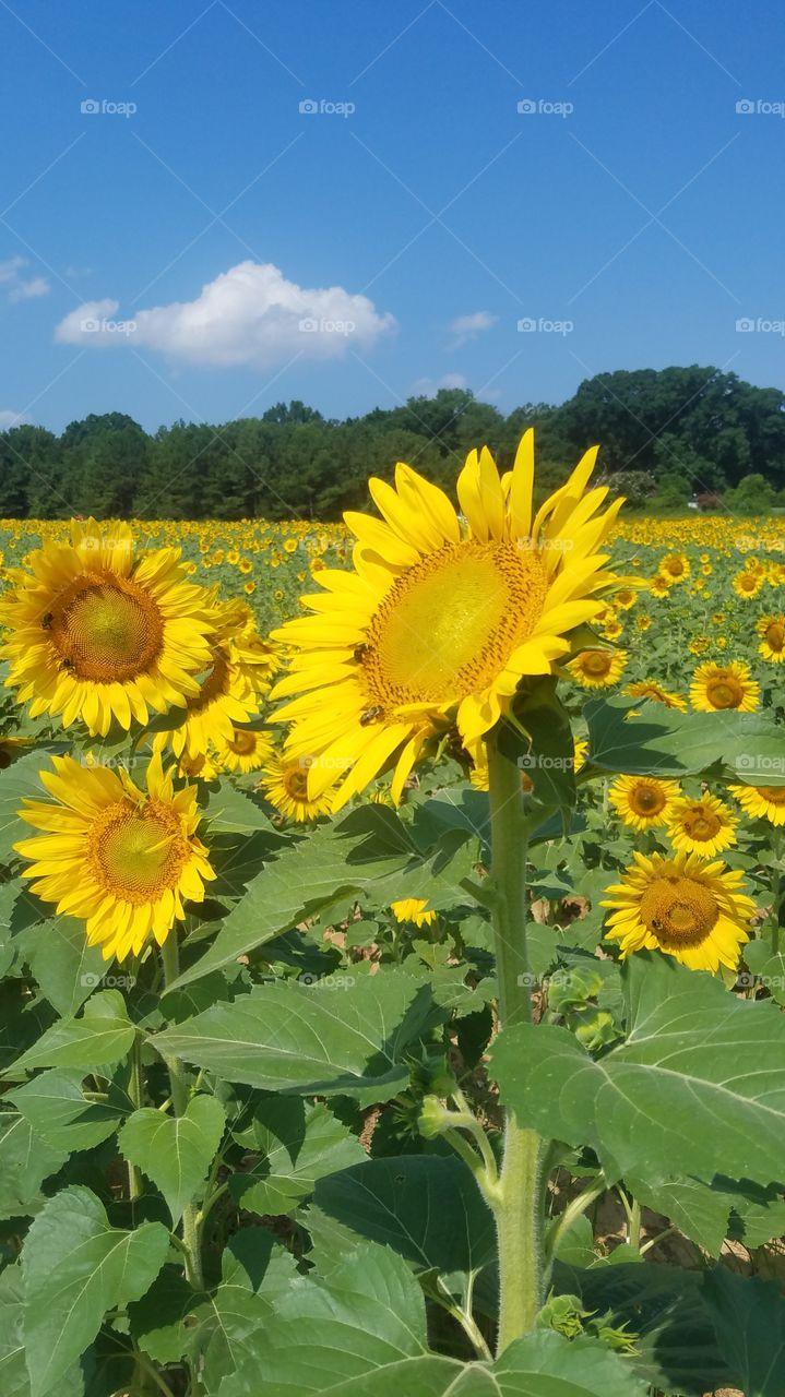 sunflowers in dorthea dix park Raleigh
