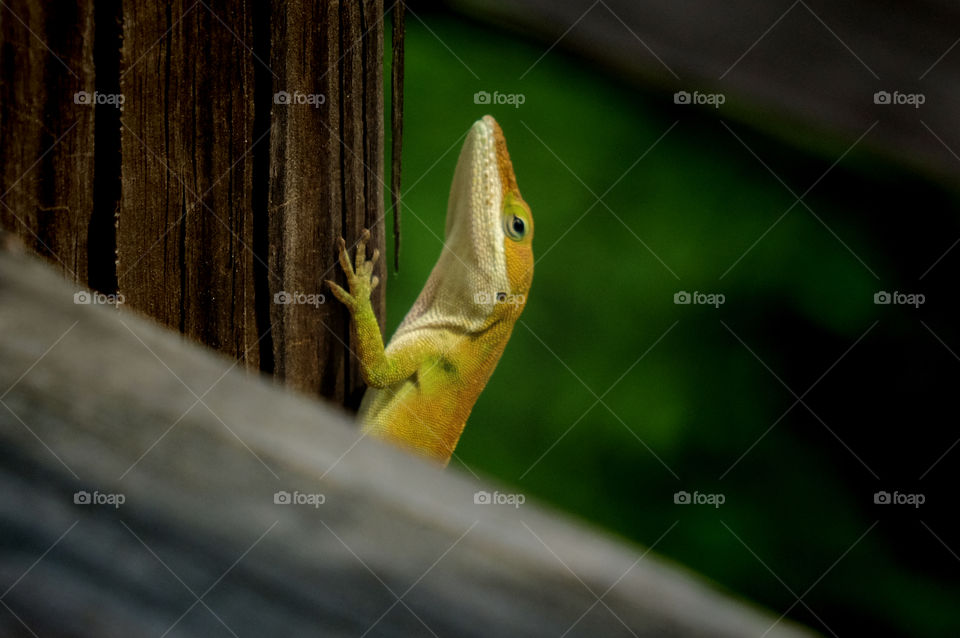 Macro of a Carolina Anole with a smug expression climbing up on a rail  on a wooden footbridge at Yates Mill County Park in Raleigh North Carolina, Triangle area, Wake County.