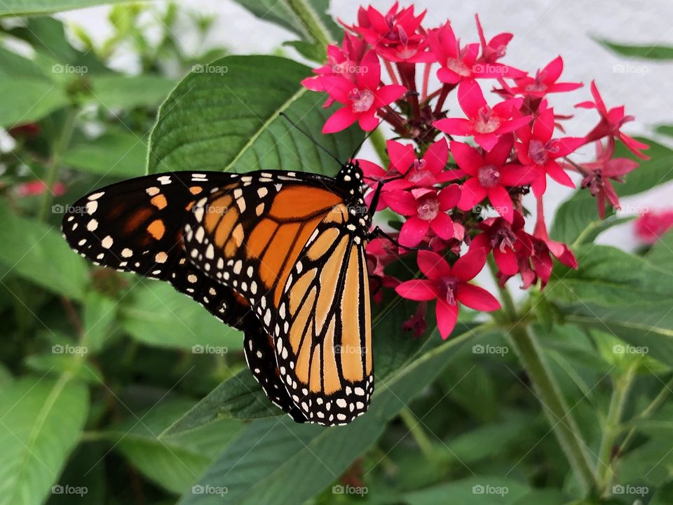 Home grown Monarch on a beautiful red Penta in the garden.