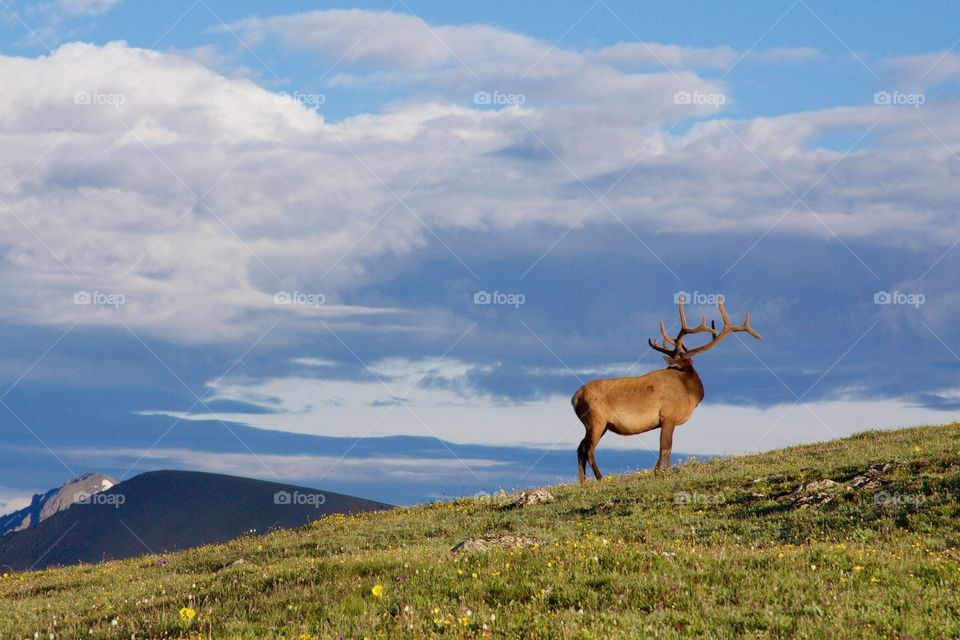 Male elk enjoying the warm sunrise