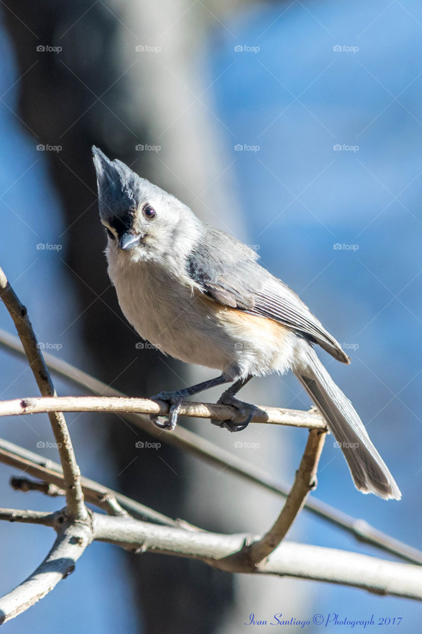 Tufted titmouse perched on twig