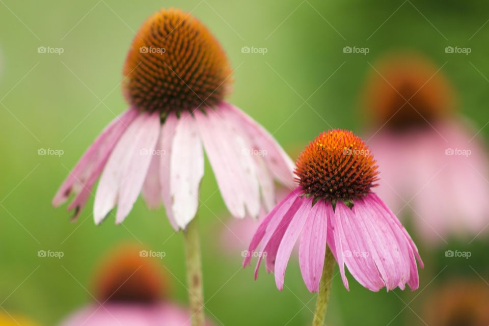 Close-up of a cone flower