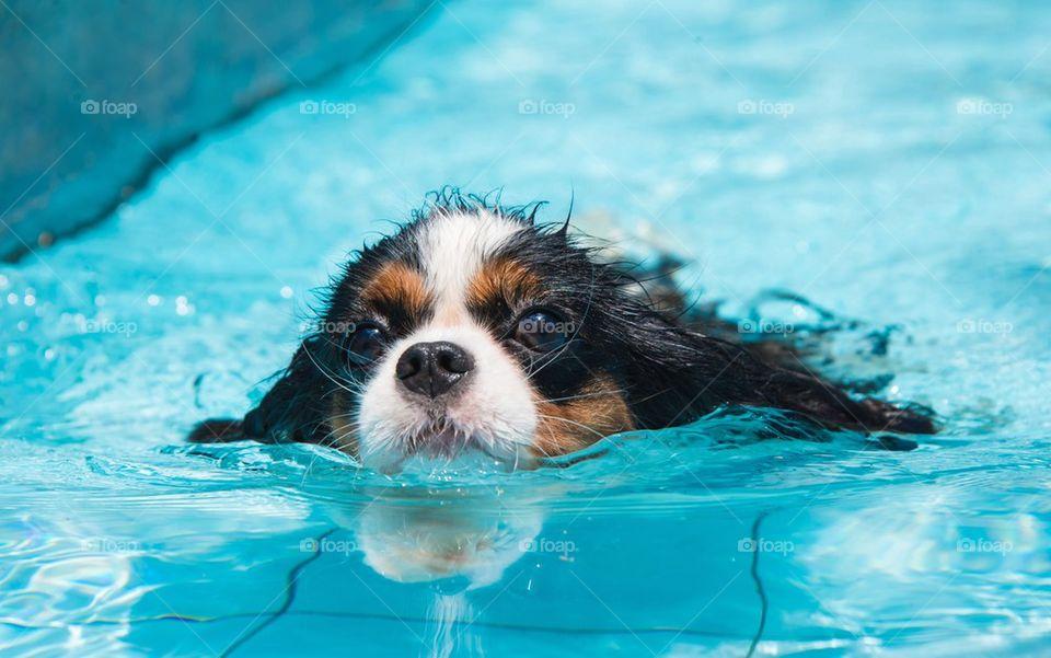 Dog swim in swimming pool