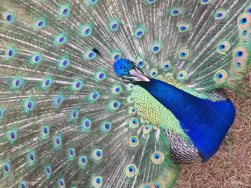 Very close up of a beautiful peacock in Florida