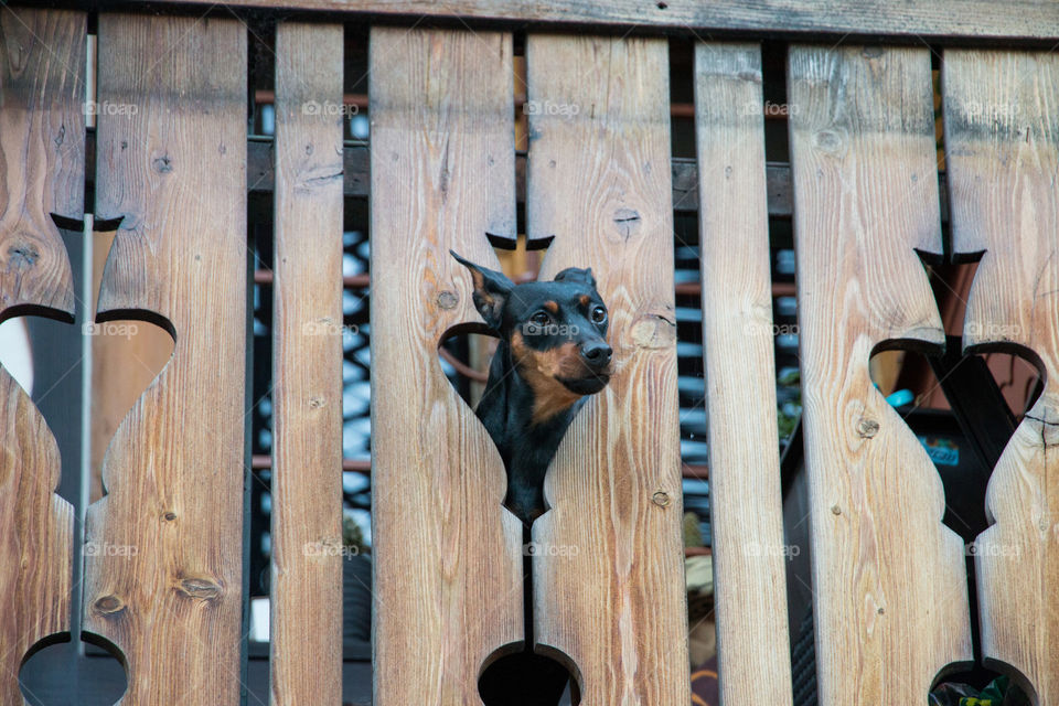 Dog looking out from hole of a gate