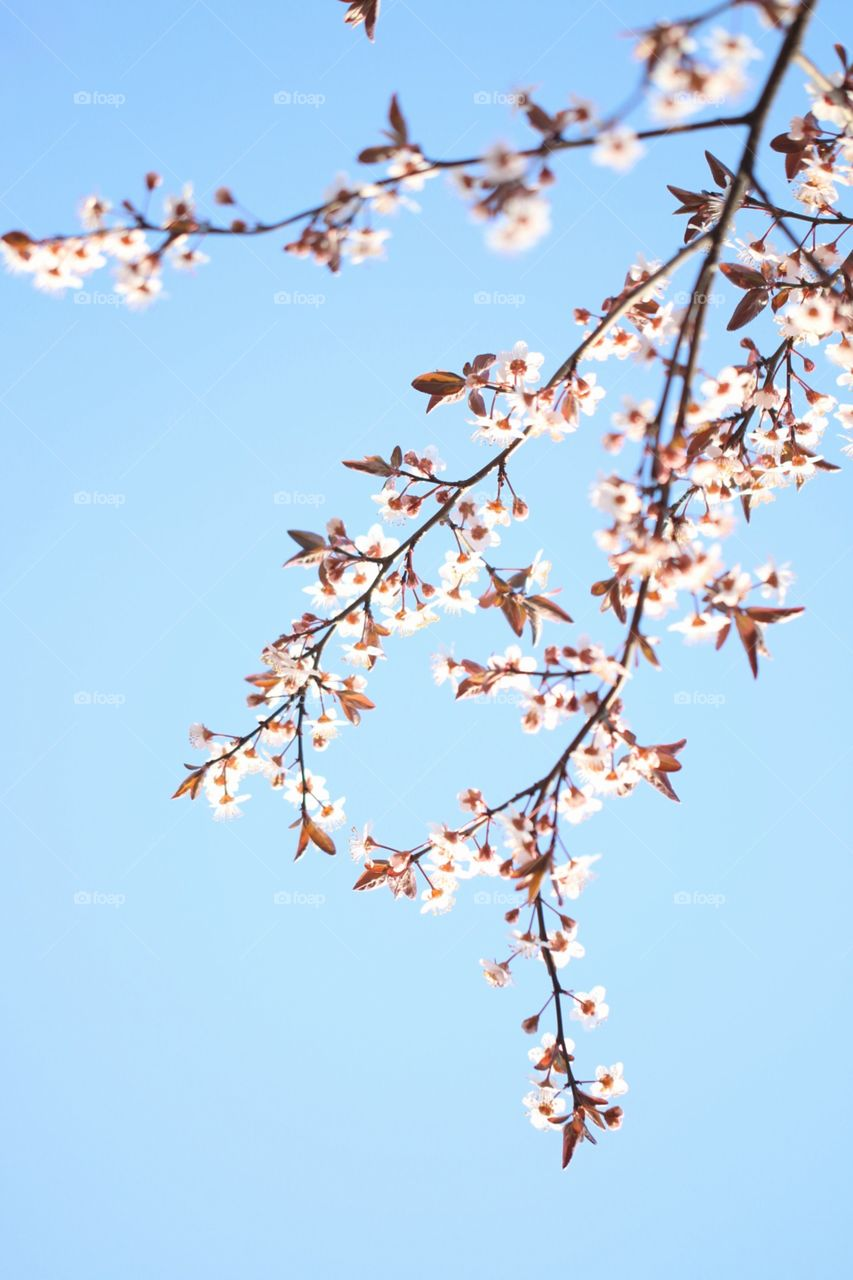 Blue sky and branches with blossom flowers