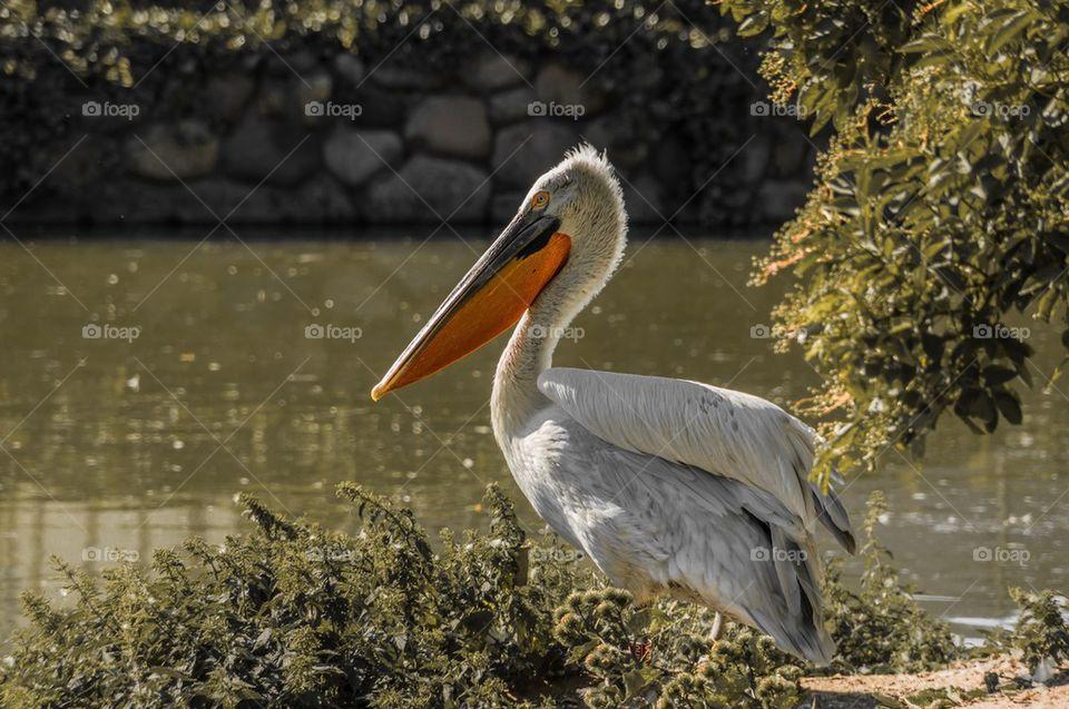 Close-up of pelican bird