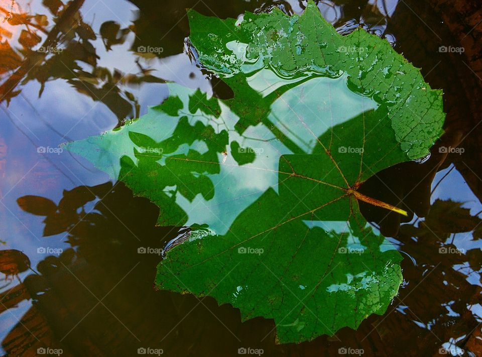 vine leaf on water