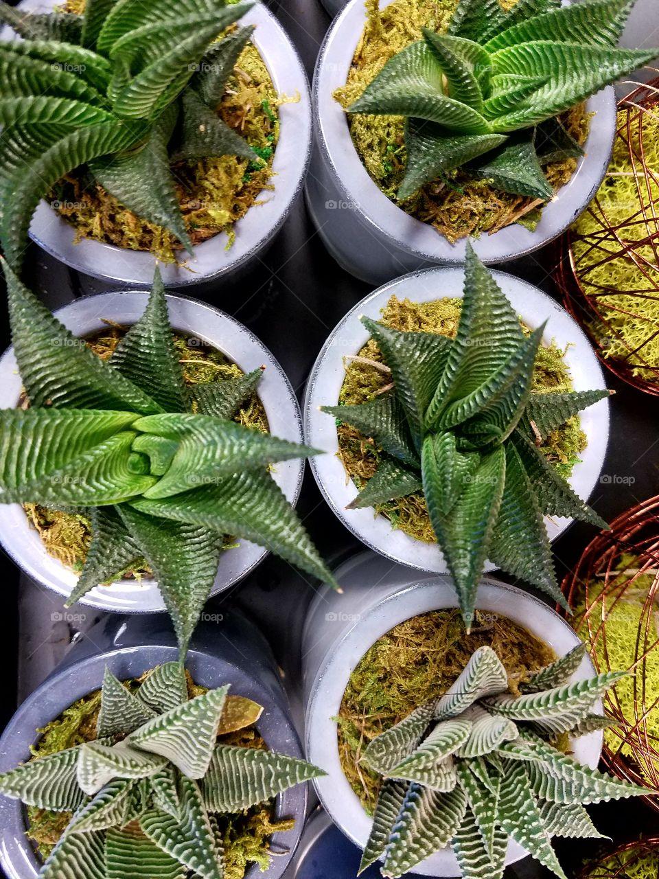 Miniature cactus plants