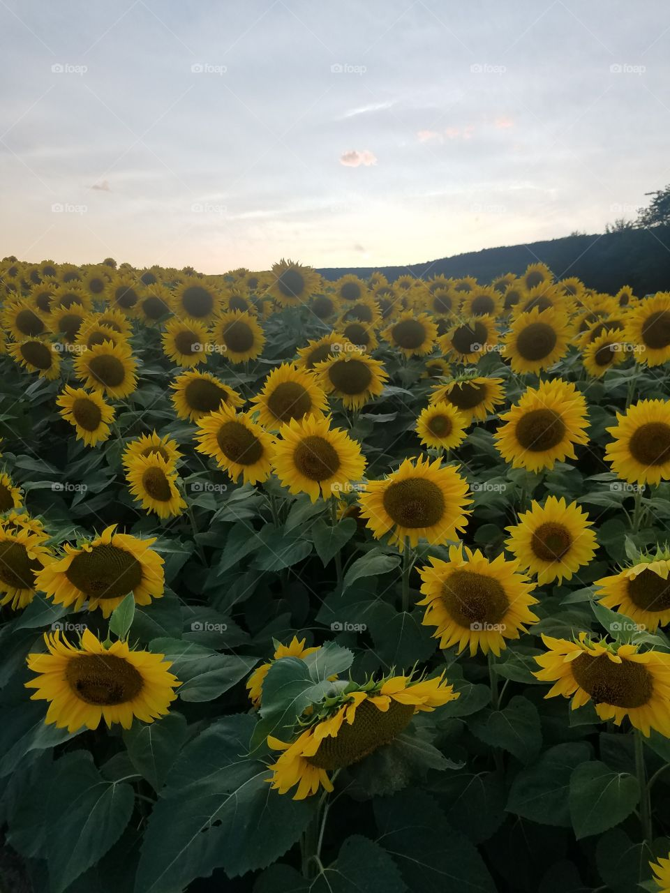 Sunflower Field at Penns Cave & Wildlife Park in PA