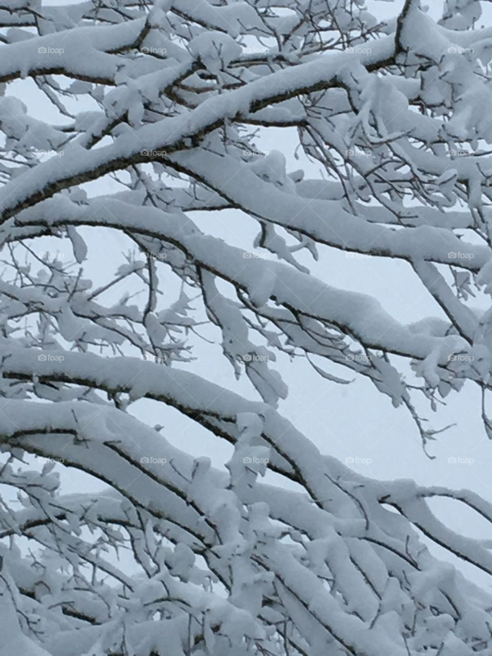 Tree Branches With Frozen Ice & Snow