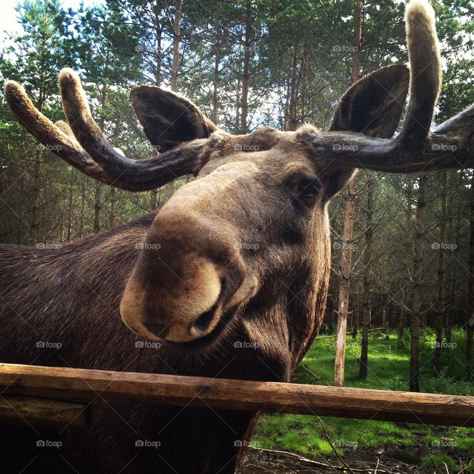 sweden sverige moose ed by lindajacobi