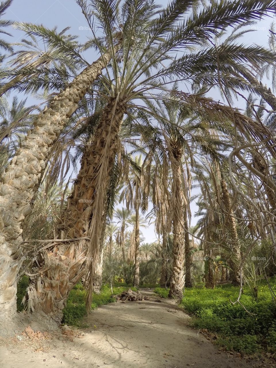 Date palm trees in a desert in a desert oasis in Tunisia