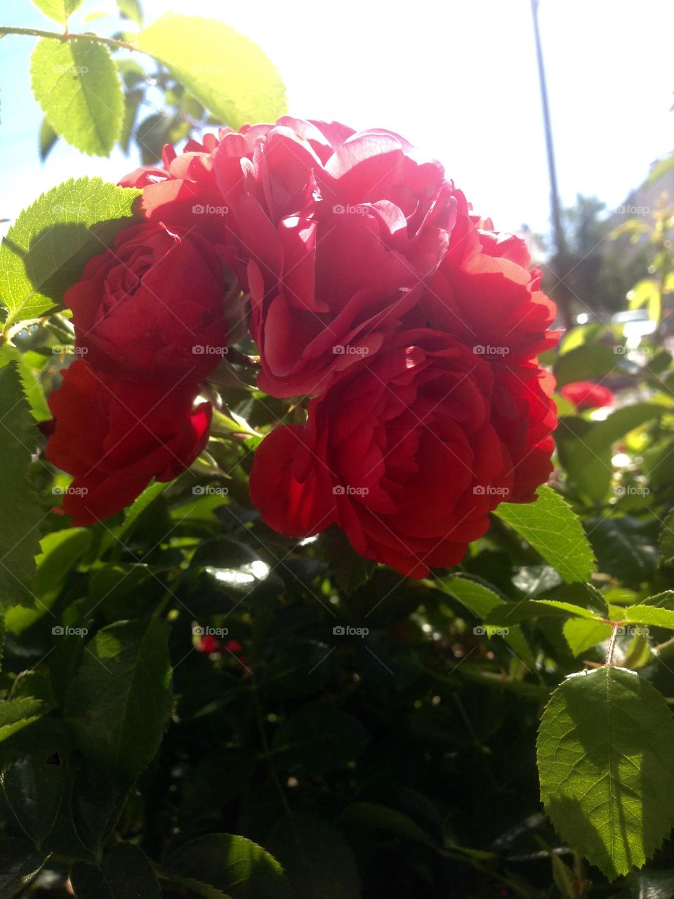 Red roses on a rose bush