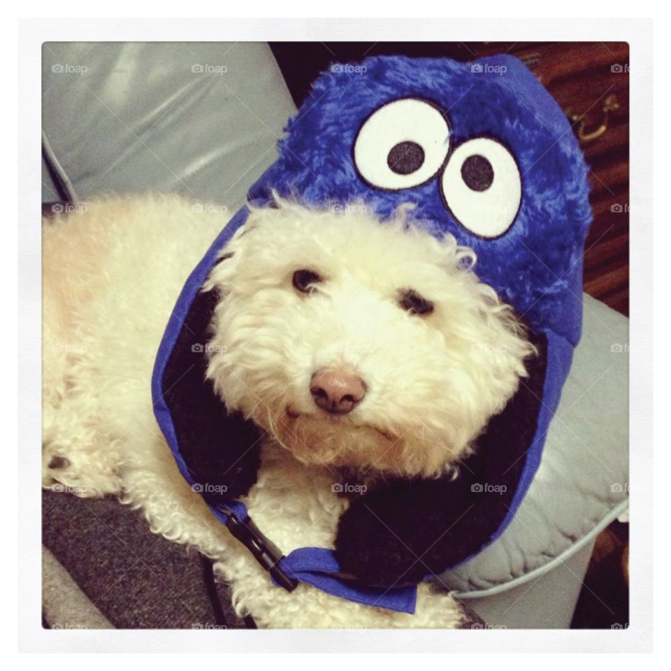 Dog in Cookie Monster hat!