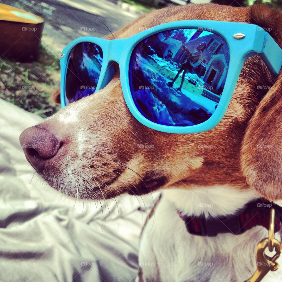 """Our dog """"pixie"""", relaxing in the summer heat with some shades."""