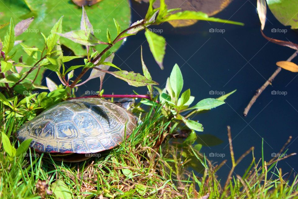 Turtle at the edge of a pond