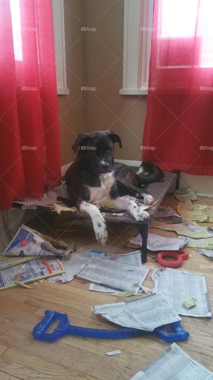 puppy destroys phone book