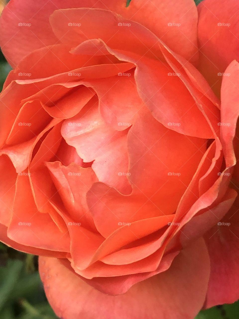 Regal Beauty Close Up Of A Coral Orange Rose Summer Sunshine Evening
