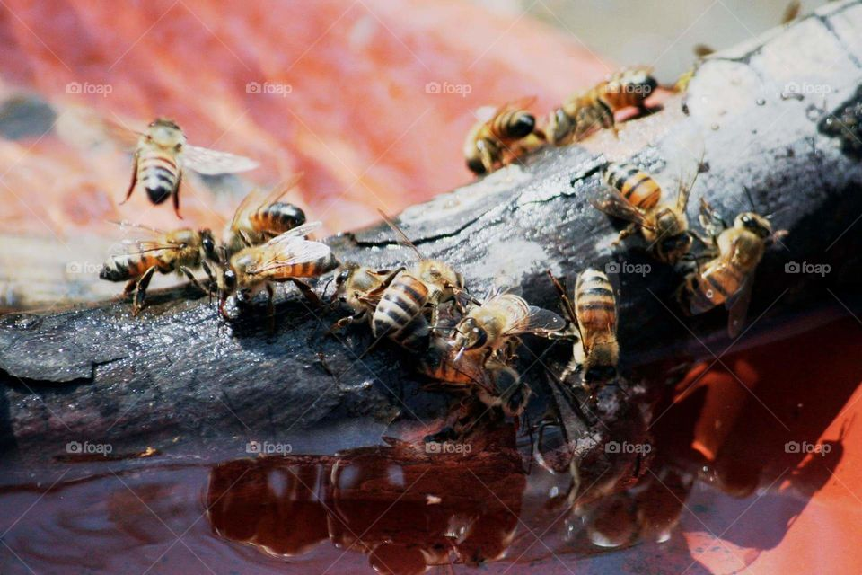 Bees drinking water on a stick