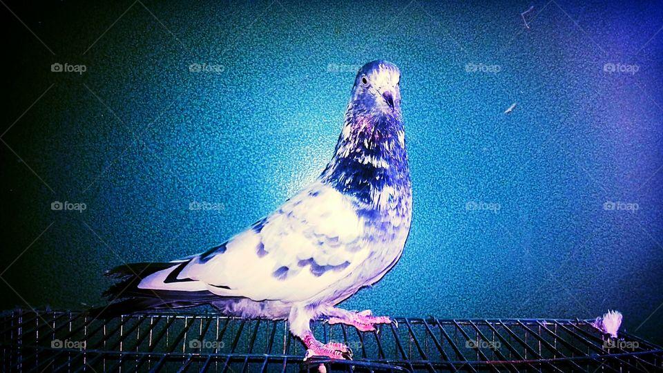 Beautiful Pigeon(3)