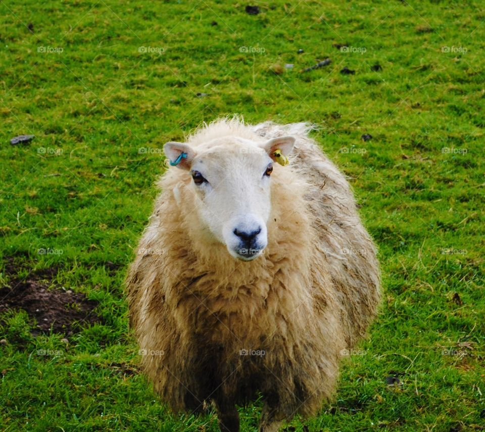 A sheep standing in a field in wales