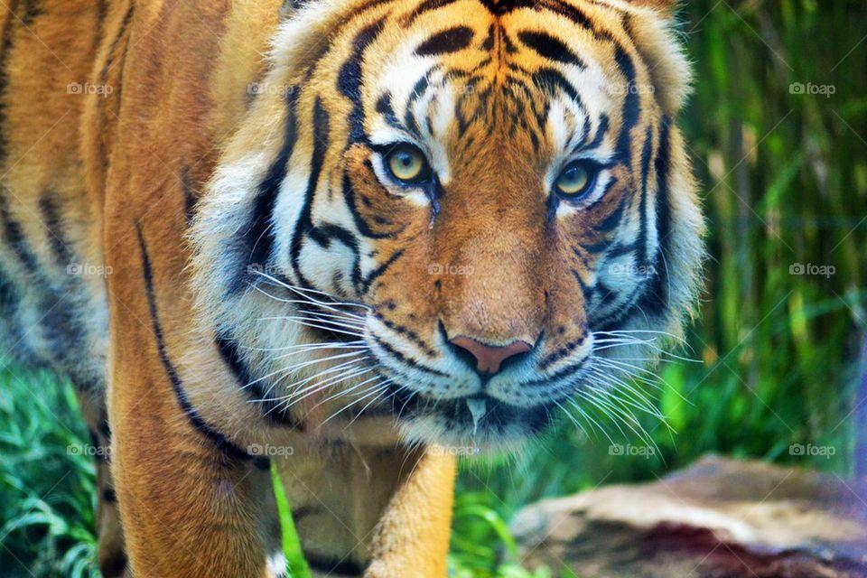 Cincy tiger