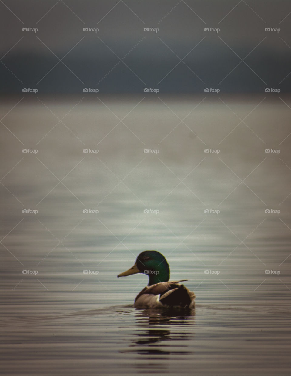 Early Morning Duck