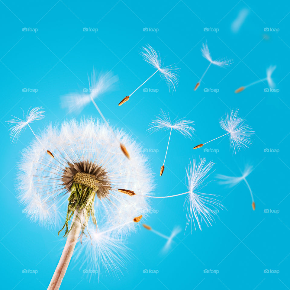 Dandelion seed flying away. Overblown dandelion with seeds flying away with the wind