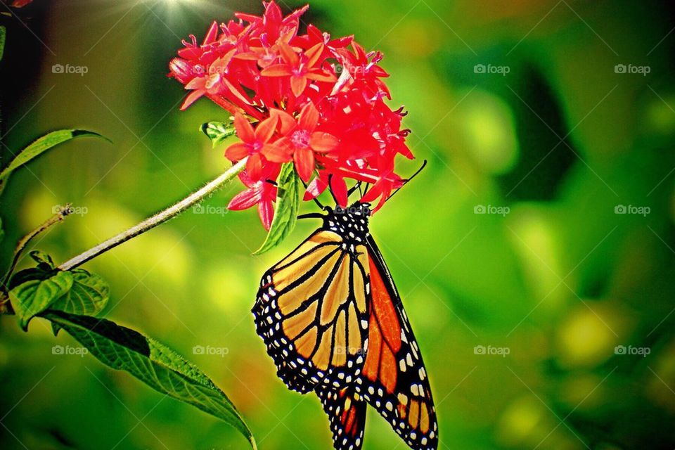 Monarch butterfly on a flower. Monarch butterfly on a flower