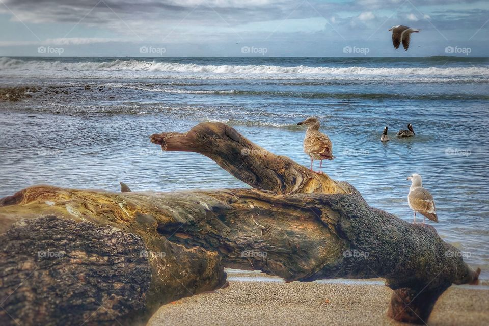 Spectacular Pelicans, Driftwood And Waves