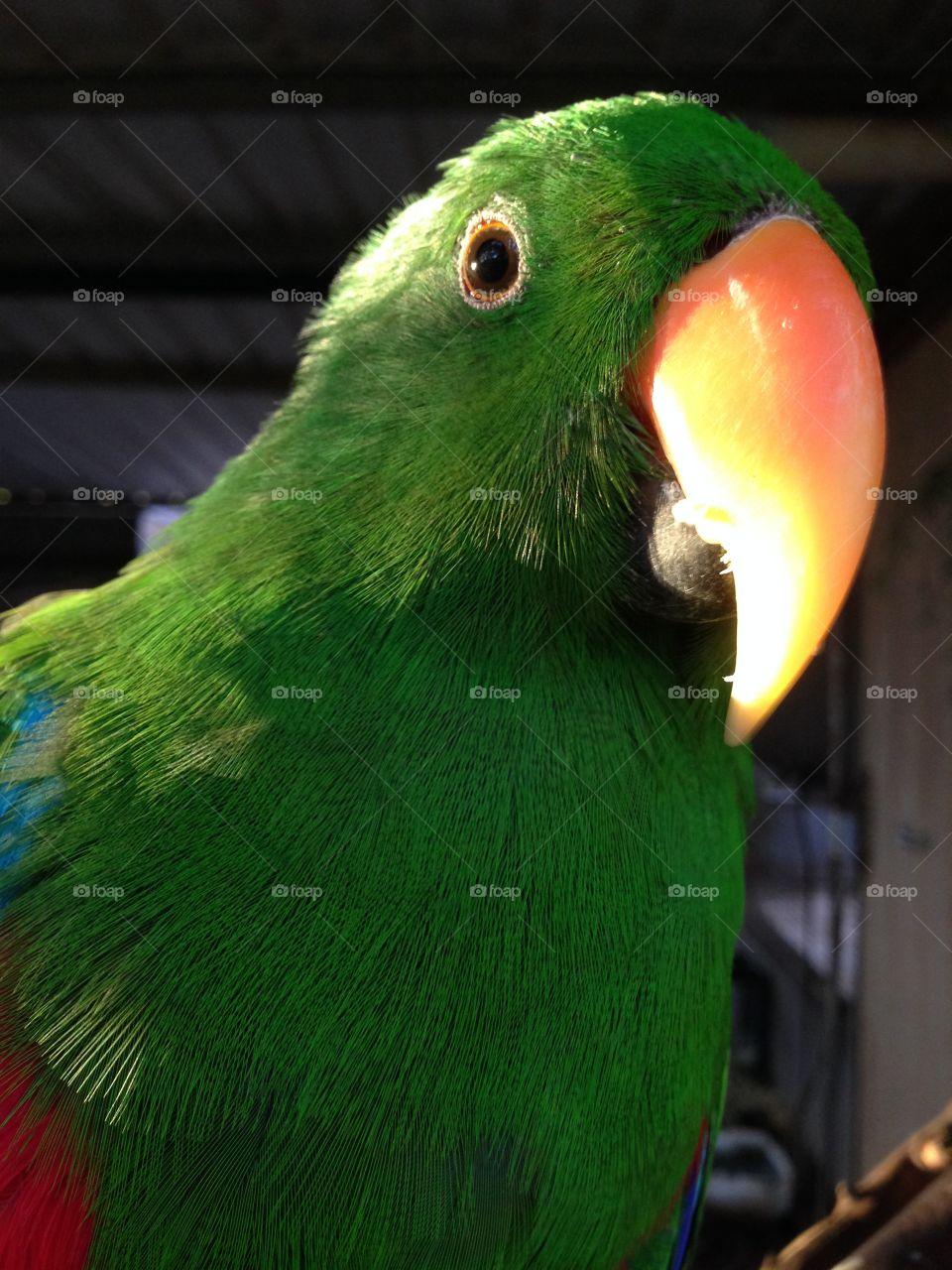 Parrot closeup. Parrot closeup, south Australia