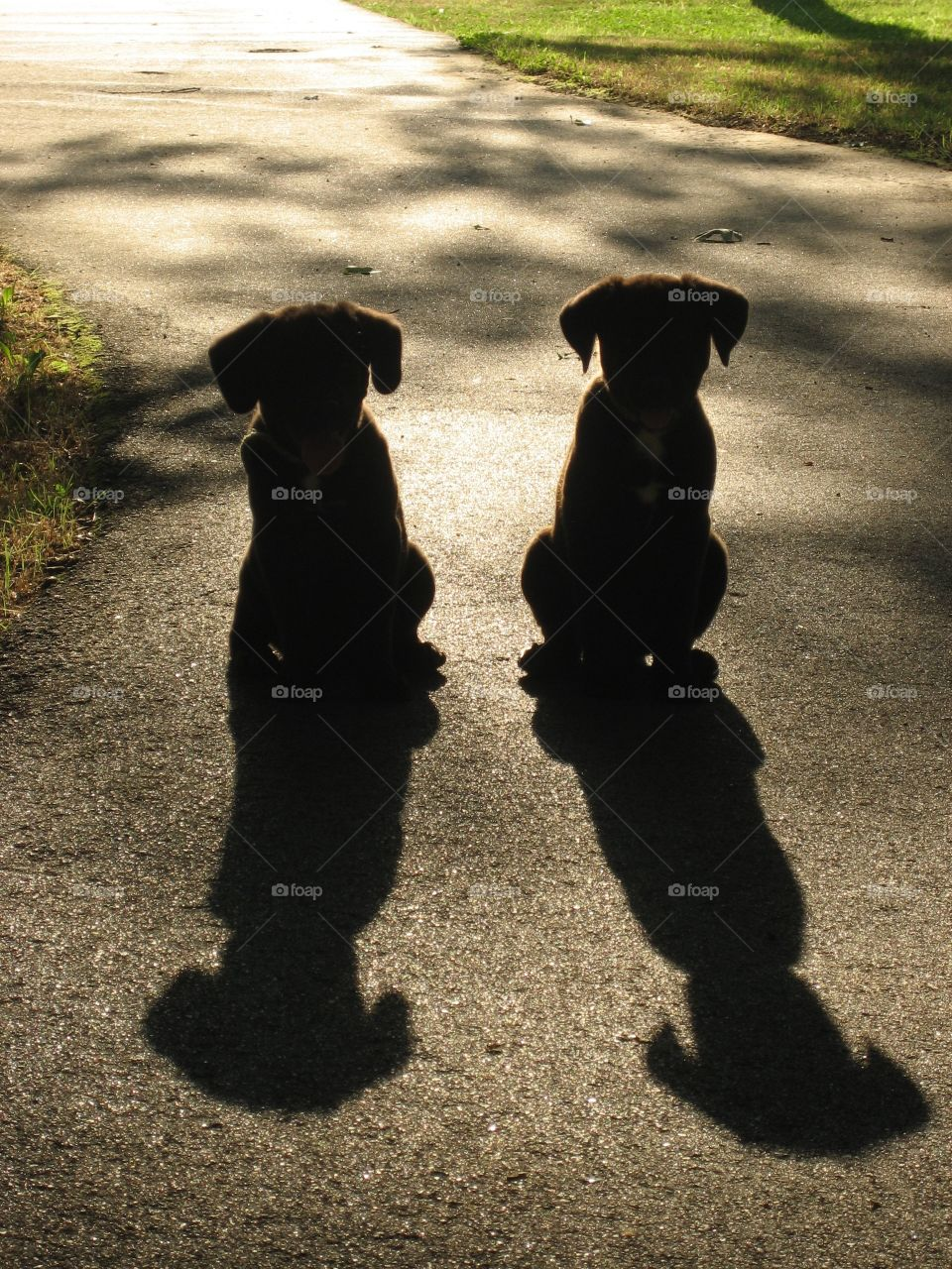 2 black lab puppies cast long shadows as they patiently practice their training and wait to be called.