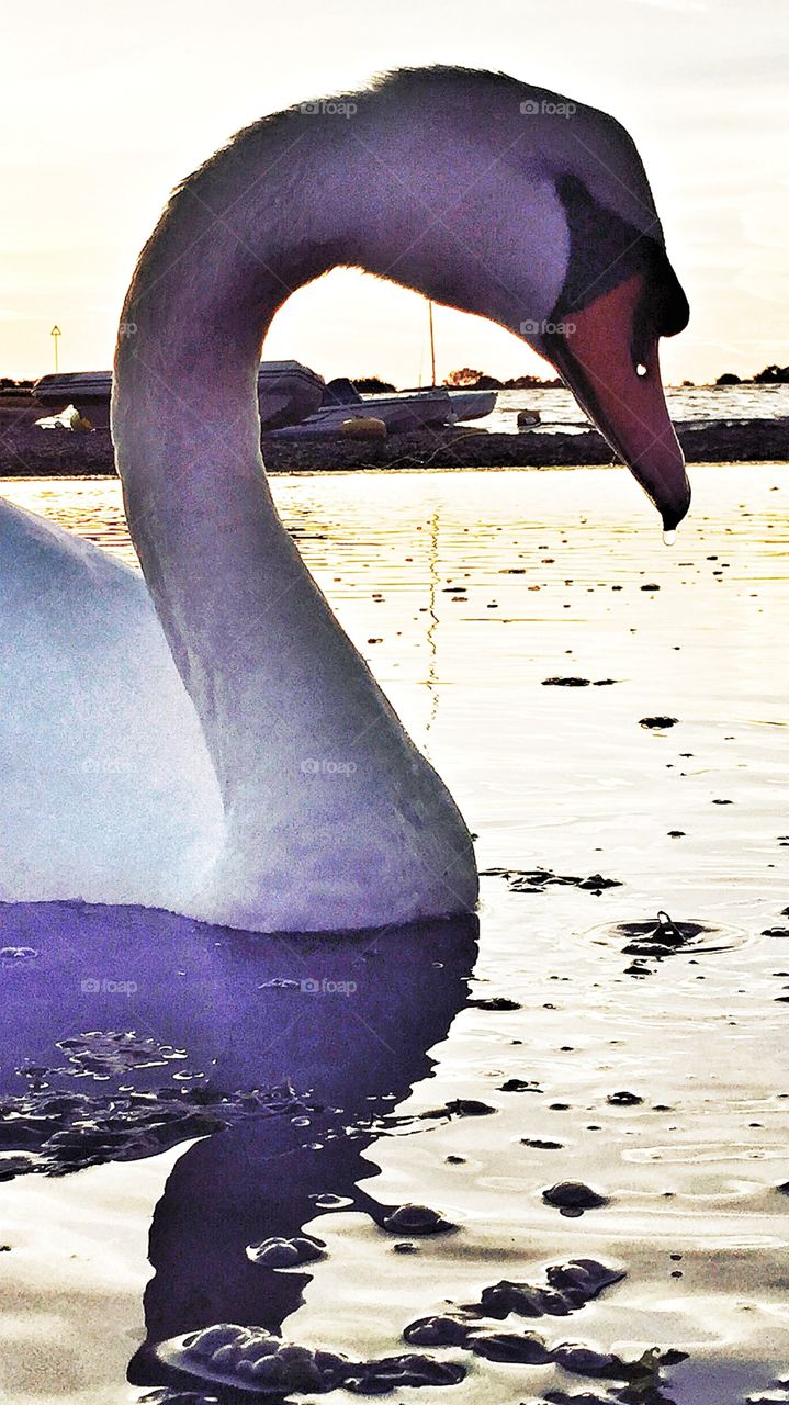 Mute Swan at dusk . Mute Swan at dusk