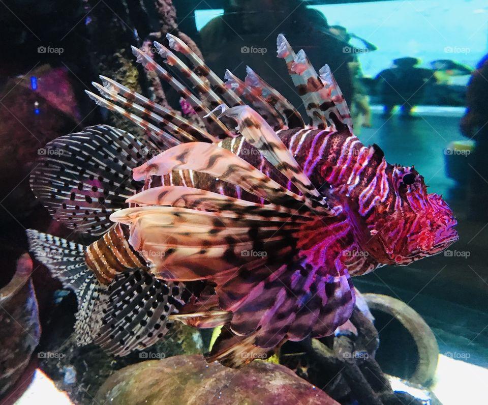 Spectacular Lion Fish