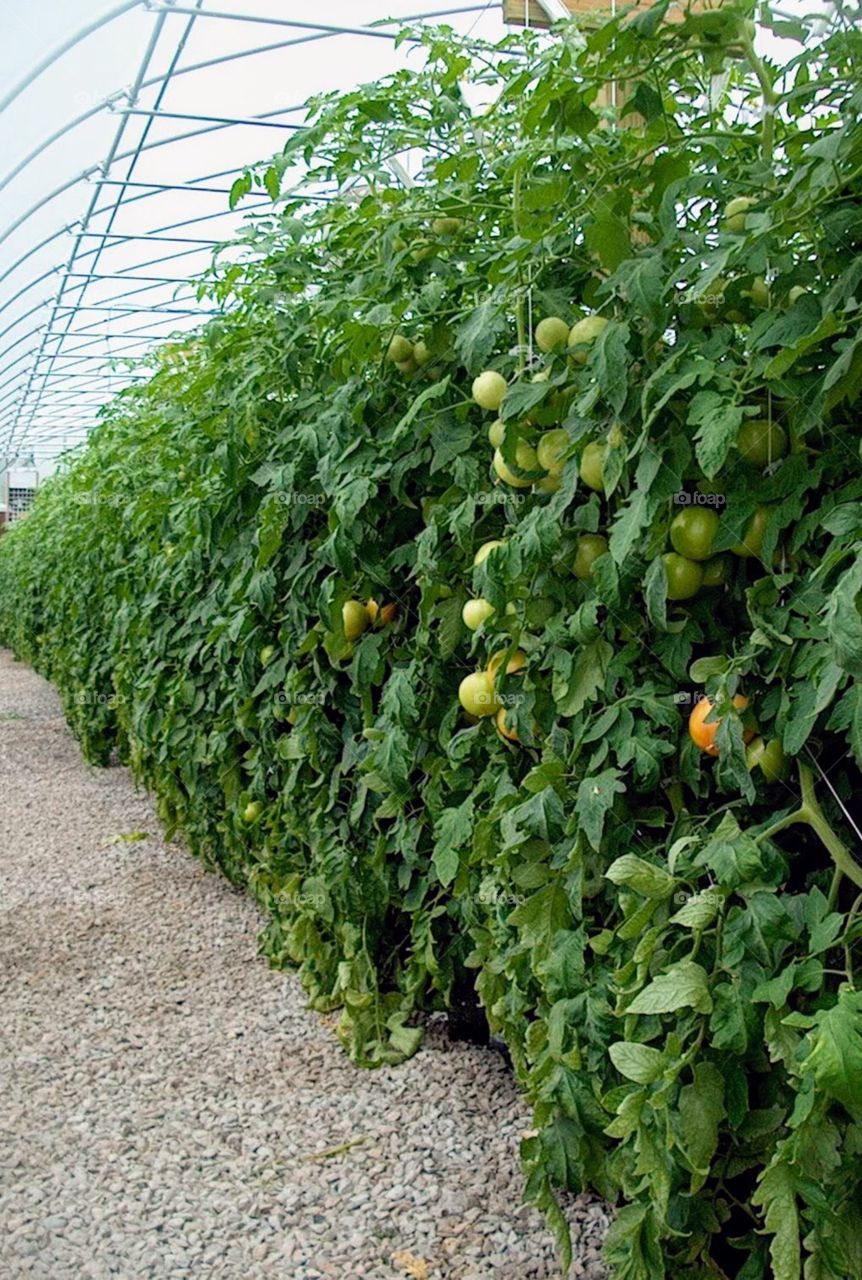 Tomatoes grown at the s University of Tennessee Knoxville